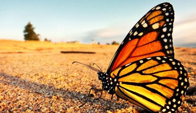 monarch-butterfly-665x385