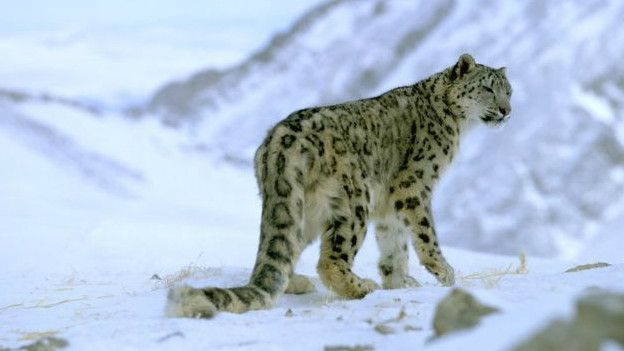 151023132057_snow_leopard_624x351_wwf_nocredit