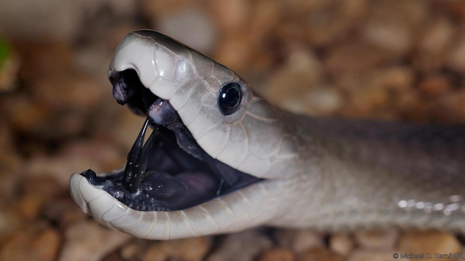 Mambayekî reş (Dendroaspis polylepis) (Jêder: Michael D. Kern/NPL)