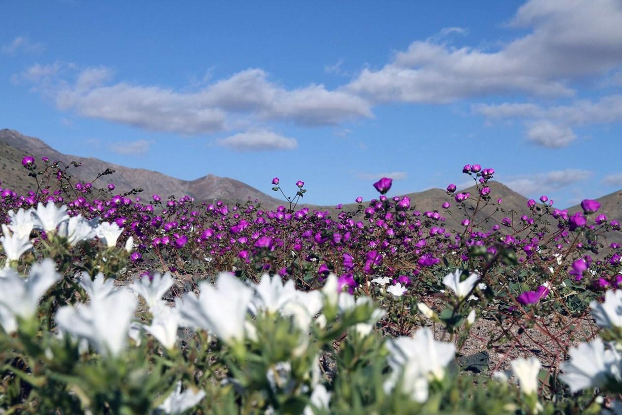 Li herêma Hitascoya Çolistana Atacamayê jî kûlilk vebûn. Baranên nişkavî yên ku di demsala payiz û biharê de tê li Şîliyê bariyan û ev jî bû festîvala kûlilkvebûnê.