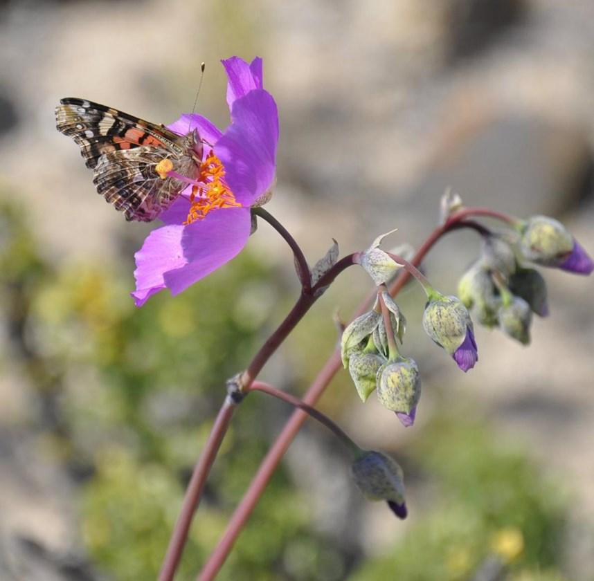 Bi saya ku kûllilk vebûn ji bo perperok û ajalên din yên polenê, wek moz û mêş deriyekî xêr û bereketê vebû.
