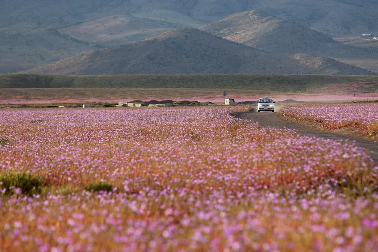 Riwekin li Atacamayê ji sala 1997'an ve heta niha cara ewil e ewqas kûlilk vekirin. Him gulistana sala 1997'an him jî ya niha bi saya baranên El Niñoyê ne.