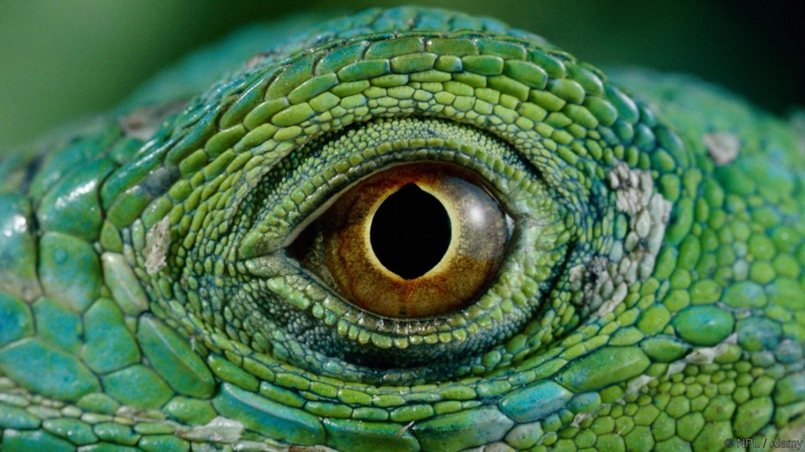 Close up of eye of Common green iguana (Iguana iguana)