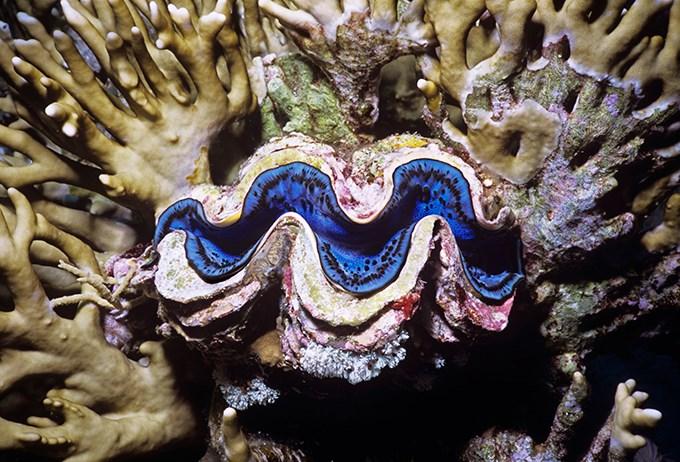 Şehmasiyakî dêw, qalikê xwe yê ku dirêjahiya wî nêzikî 1,5 mîtroyan e, vedike û rengên xwe yên biriqî pêşkêş dike.