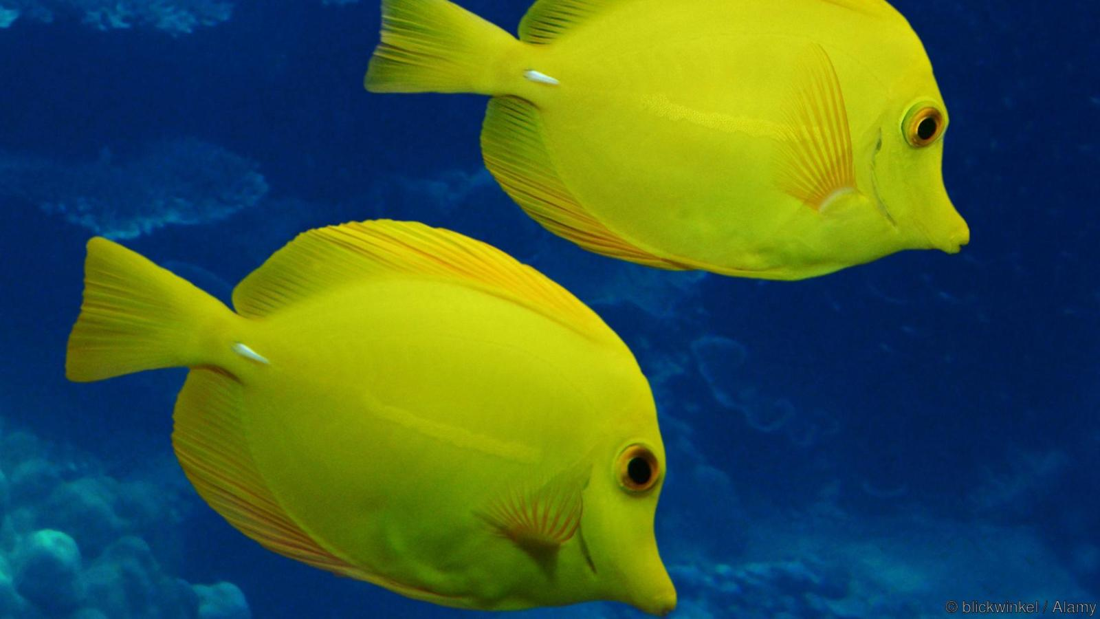yellow tang (Zebrasoma flavescens), distribution: Pacific Ocean