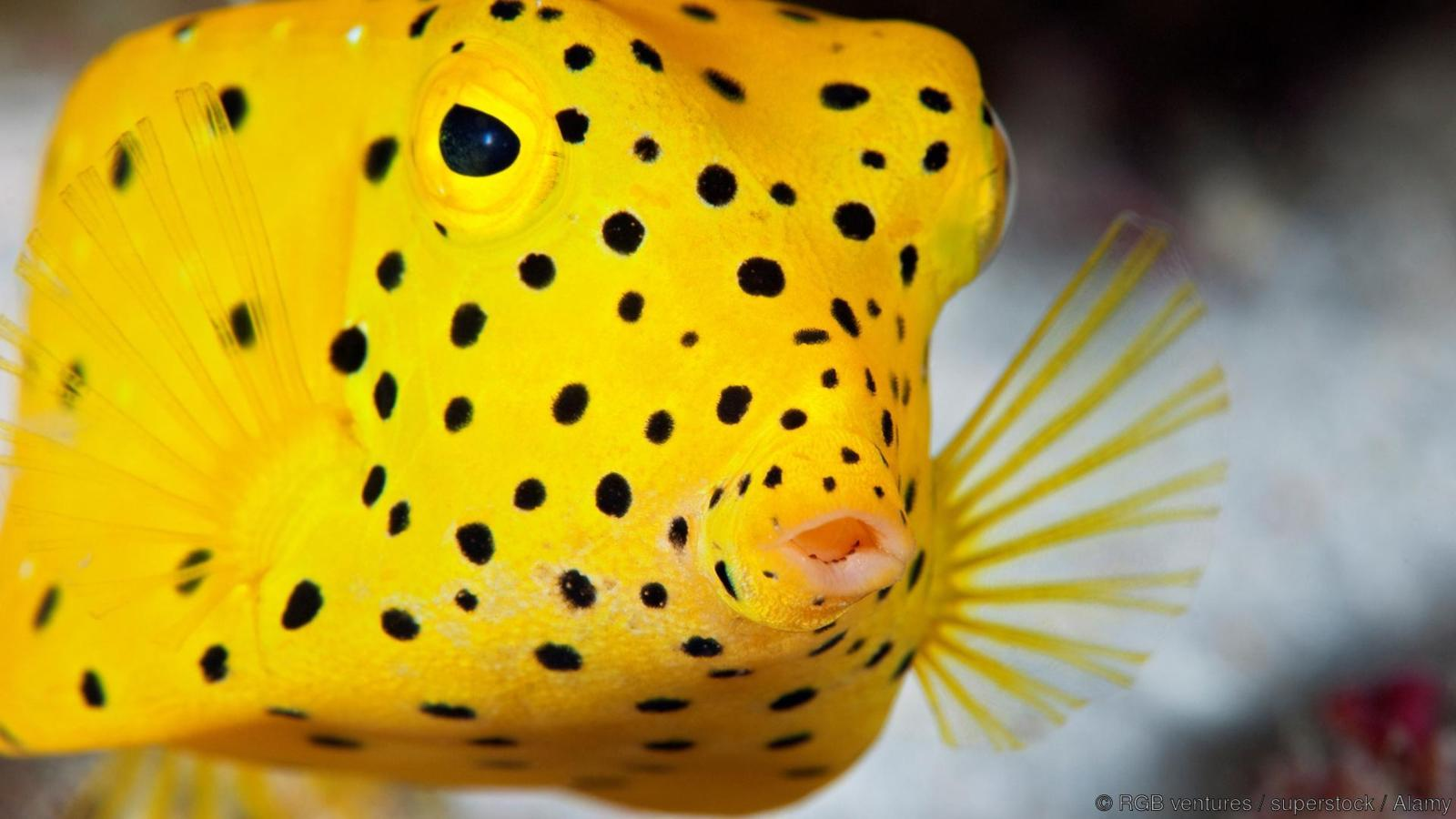 A juvenile yellow boxfish (Ostracion cubicus) in the Maldives. Only while juvenile is the fish this bright yellow.