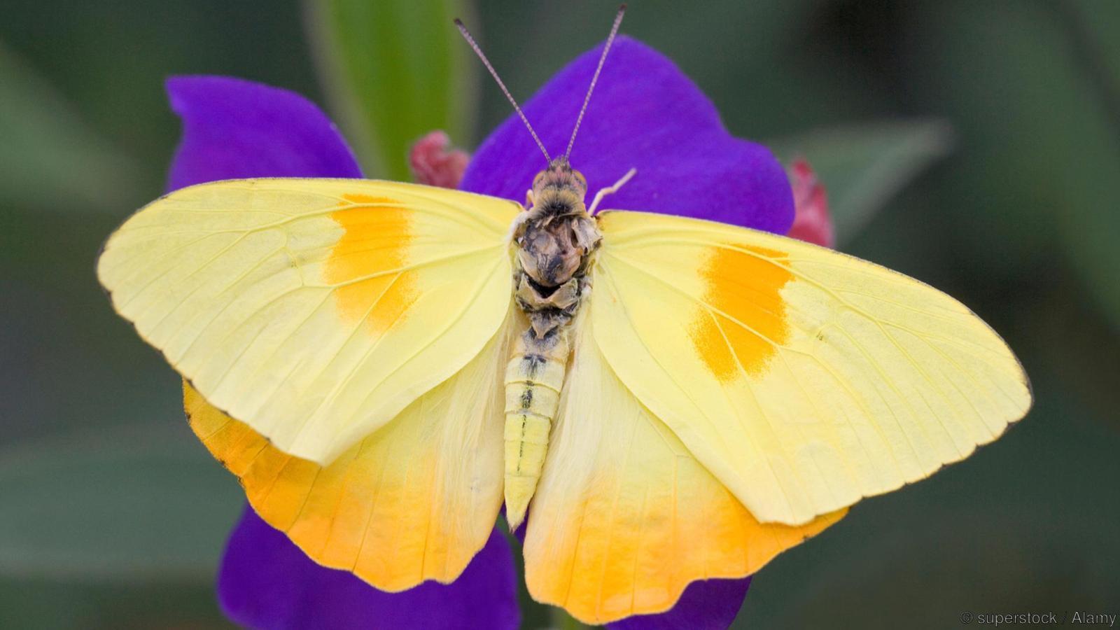 Orange-Barred Sulphur butterfly (Phoebis philea) pollinating a flower
