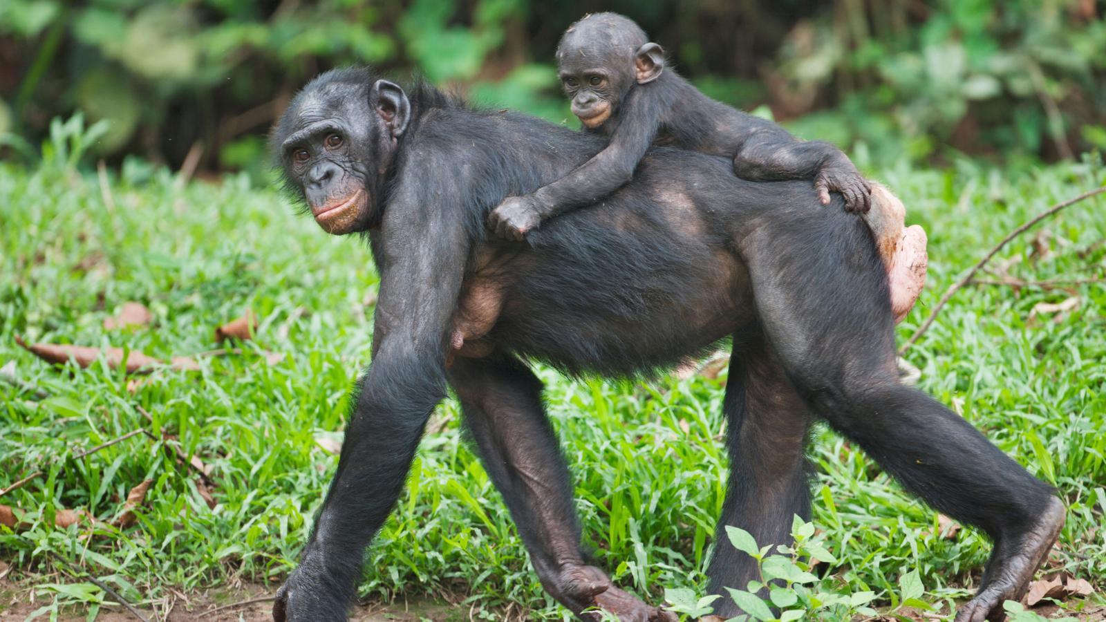 Mother and baby Bonobo Chimpanzee at the Sanctuary Lola Ya Bonobo, Democratic Republic of the Congo